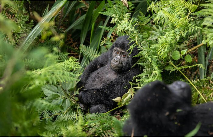 two baby gorillas in the middle of nature in a lovely green scenery
