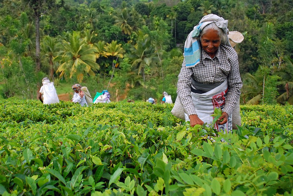 a lady picking tea leaves in a bright green field